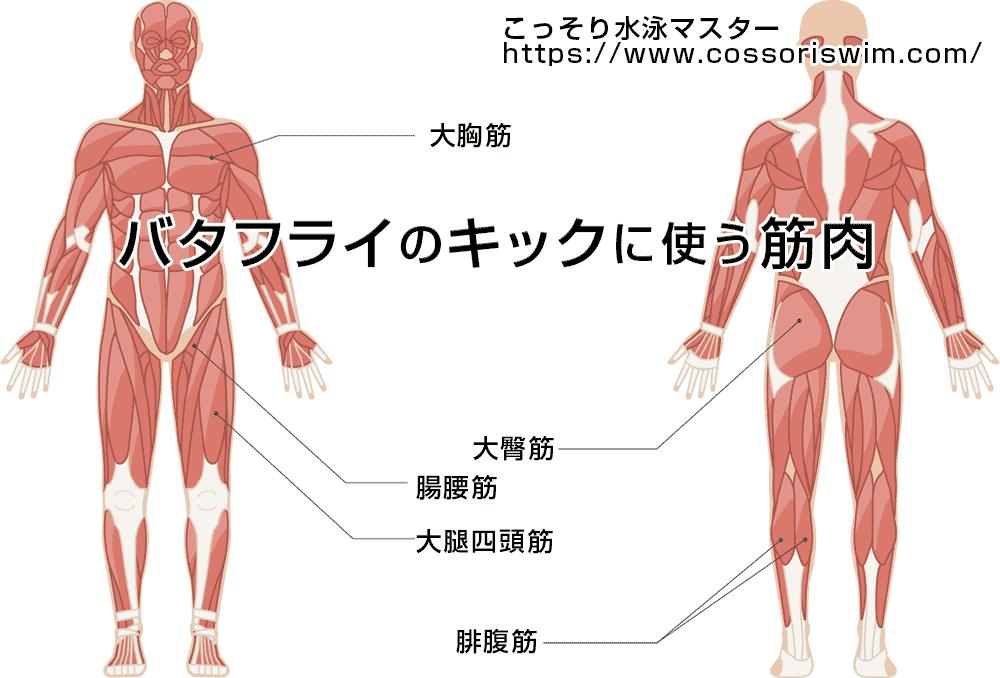 バタフライのキックに必要な筋肉の図