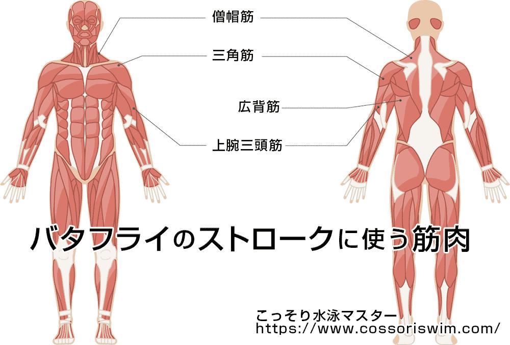 バタフライのストロークでよく使う筋肉の図