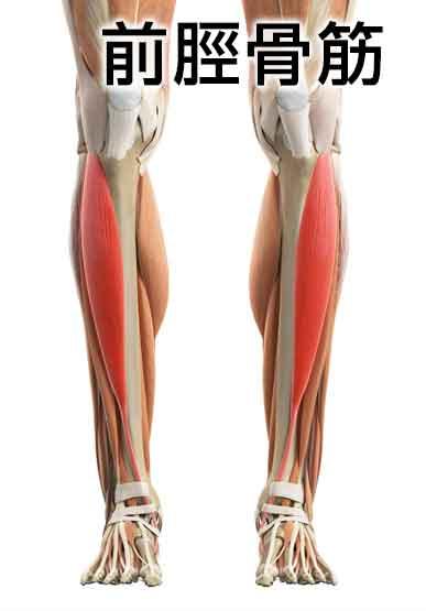 「前脛骨筋」の画像検索結果