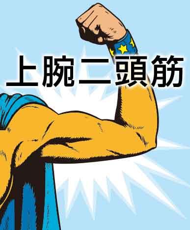 平泳ぎで使う筋肉の上腕二頭筋イラスト