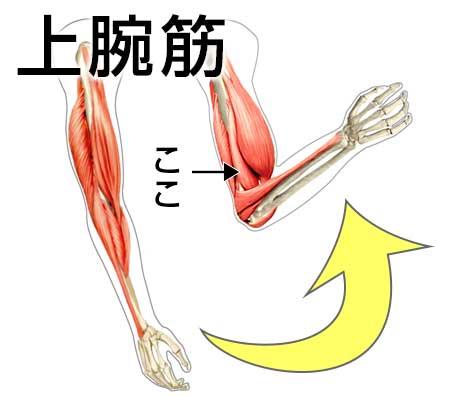 平泳ぎで使う筋肉の上腕筋の図解