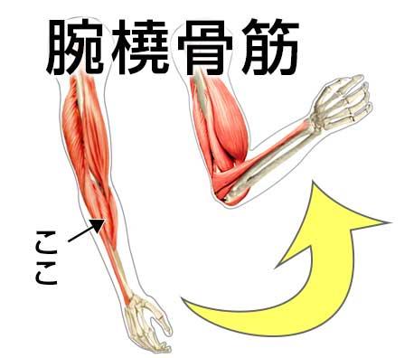 平泳ぎで使う筋肉の腕橈骨筋の図解