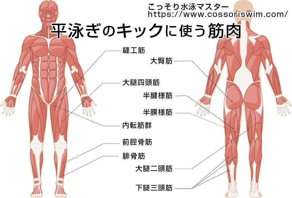 平泳ぎのキックでよく使う筋肉の図解