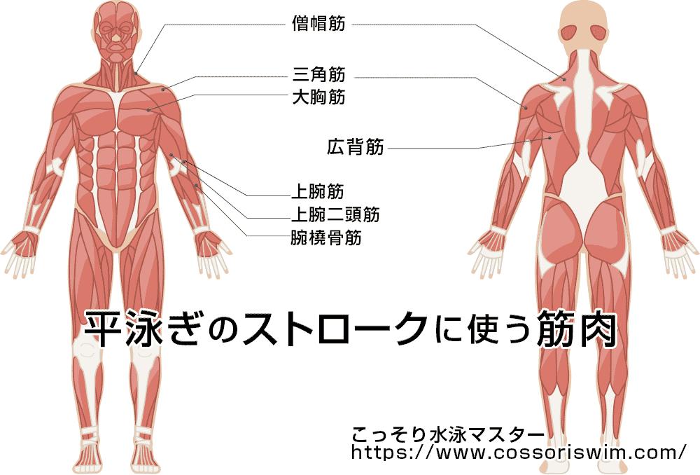 平泳ぎのストロークでよく使う7つの筋肉の図解