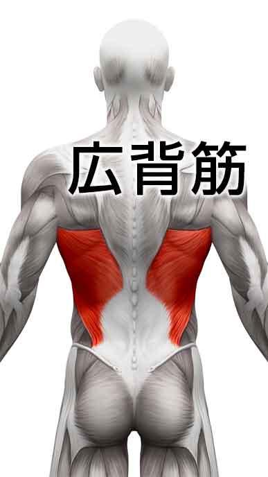 平泳ぎで使う筋肉の広背筋