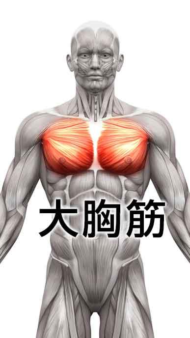 平泳ぎで使う筋肉の大胸筋の場所