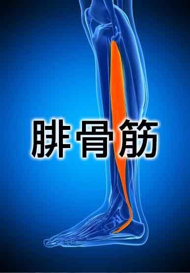 平泳ぎで使う筋肉の腓骨筋の中の長腓骨筋